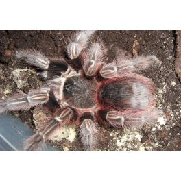 Acanthoscurria spec. Red (Verdez)(cf. chacoana) (1 muda)