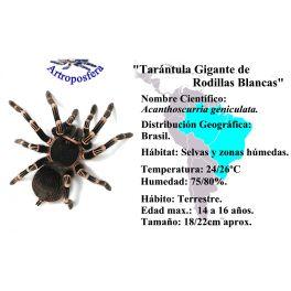 Acanthoscurria geniculata, Ficha.