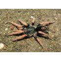 Kochiana brunnipes (2.5 cm de legs)