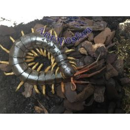 """Scolopendra subspinipes dehaani """"Yellow legs""""(adulto)"""