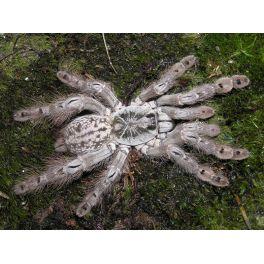 Heteroscodra maculata (5/6 cm de legs)