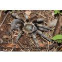 Aphonopelma seemanni (Nicaragua) (2/2.5 cm de legs)