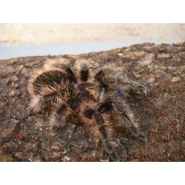 "Tliltocatl albopilosum (Ex. Brachypelma) ""Honduras"" (2 cm de legs)"