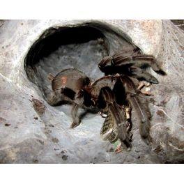 Chilobrachys dyscolus black (1/2 mudas)