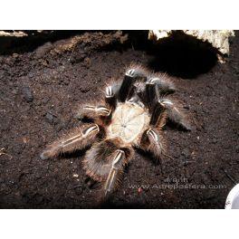Ephebopus murinus (2 mudas) BRASIL