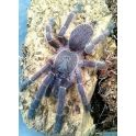 Orphnaecus sp blue (Adulta)