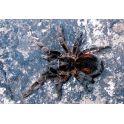 Bistriopelma lamasi (3.5 cm de legs)