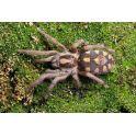 "Hapalopus sp Kolumbia ""klein"" (2.5/3 cm de cuerpo)"