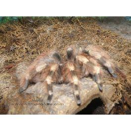 Nhandu coloratovillosum (3/4 cm de legs)