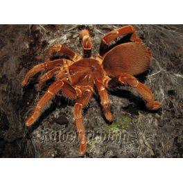 Pelinobus muticus (2.5/3 cm de cuerpo)