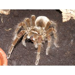 Theraphosa blondi (4 cm de legs)