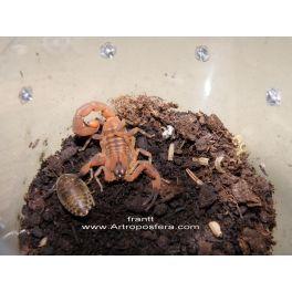 Babycurus jacksoni (1 muda)