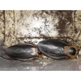 "Blaberus craniifer ""Black Wing"" 12 unidades (mixto)"