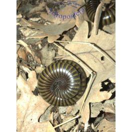 Spirostreptidae sp. 8