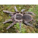 Acanthoscurria musculosa (4/5 cm de cuerpo)
