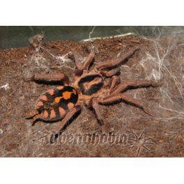 Hapalopus sp. Kolumbia gross (3 cm de legs)