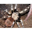 Nhandu chromatus (3.5/4 cm de cuerpo)