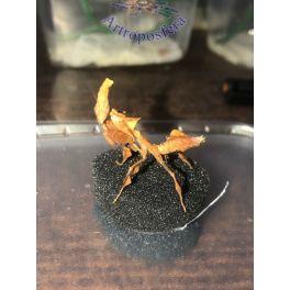 Phyllocrania paradoxa (L3/L4)