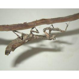 Popa spurca (4/5 mudas)