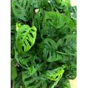 Monstera adansonii monkey leaf