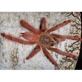 Tapinauchenius gigas (6/7 cm de legs)