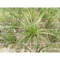 Tillandsia tricolor grey