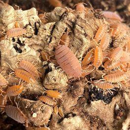 Porcellionides pruinosus Oran