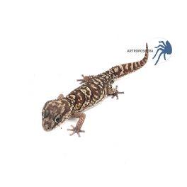Paroedura Pictus (adultos)