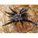 Xenesthis immanis (2 cm de legs)