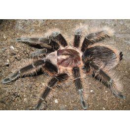 "Tliltocatl albopilosum (Ex. Brachypelma) ""Honduras"" (3/3.5 cm de legs)"