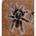 """Tliltocatl albopilosum (Ex. Brachypelma) """"Nicaragua"""" (2/3 mudas)"""