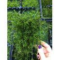 Rejilla Vesicularia dubyana Jawa moss
