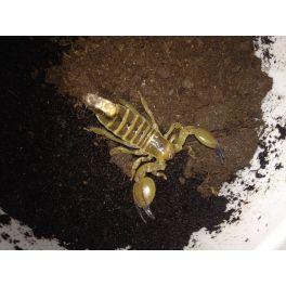 Scorpio maurus palmatus (pequeños-medianos)