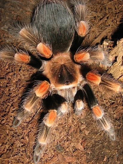 Regeneración de dos patas B. smithi.