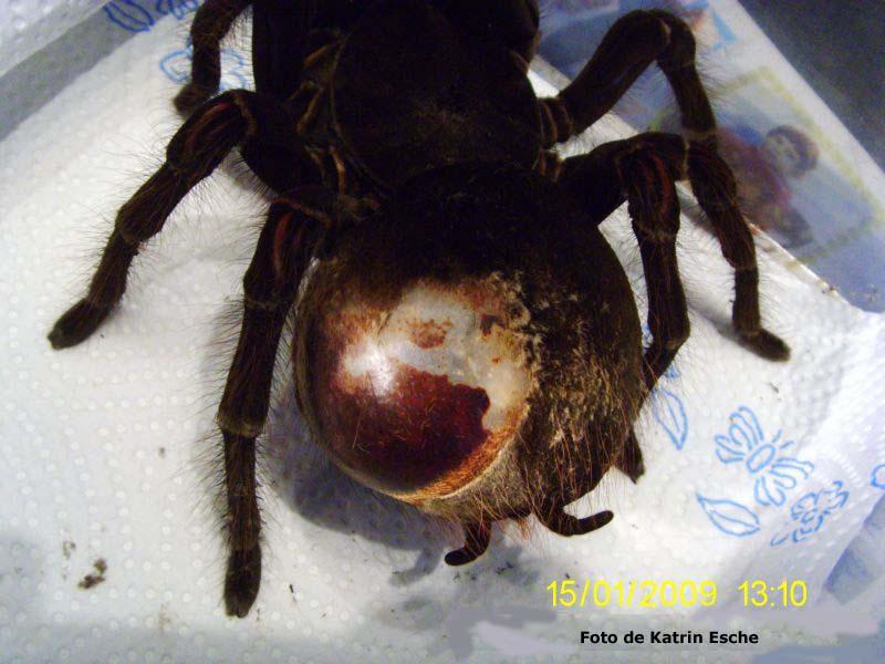 Tumor tarantula