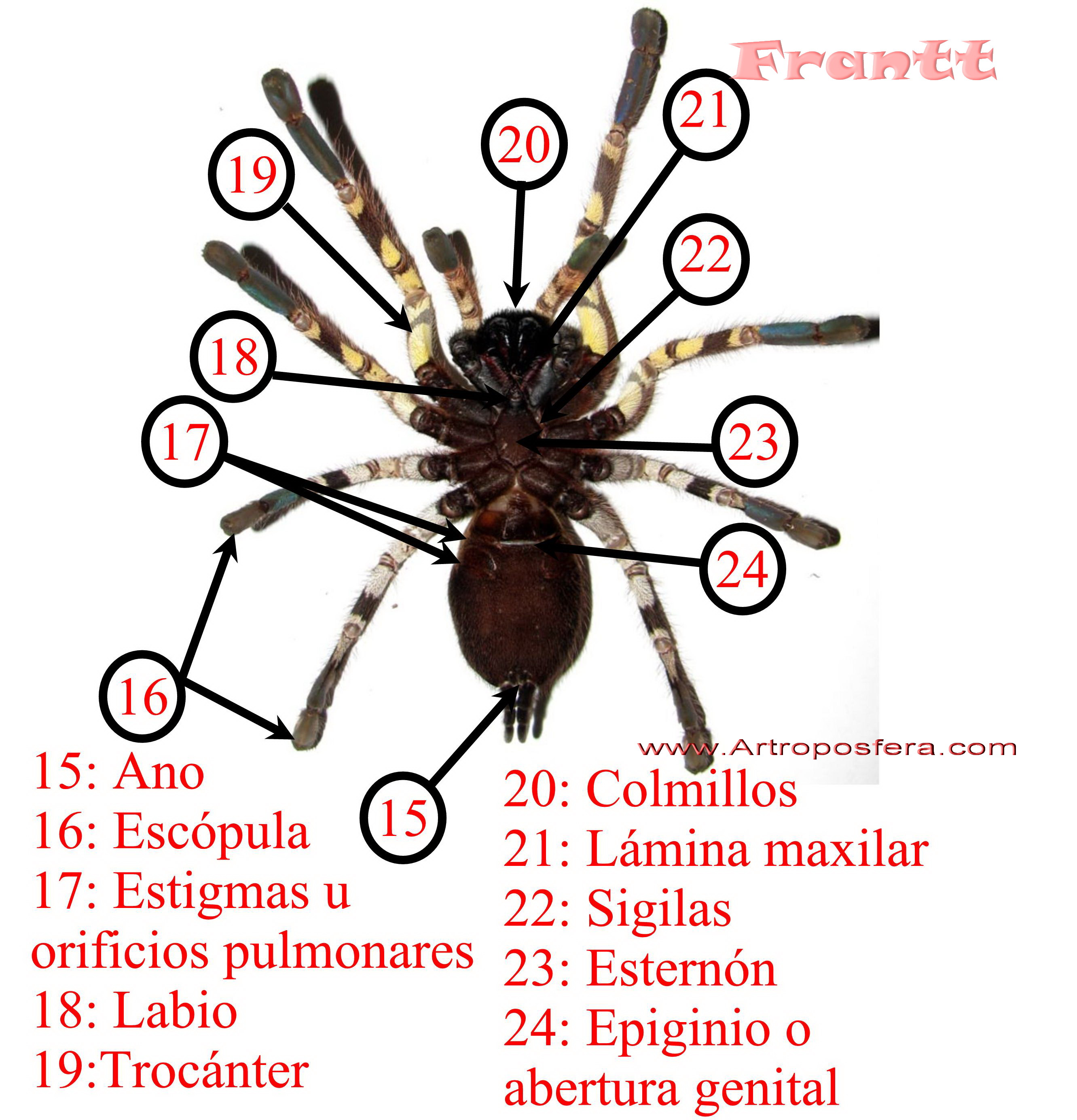 Anatomía de las tarantulas