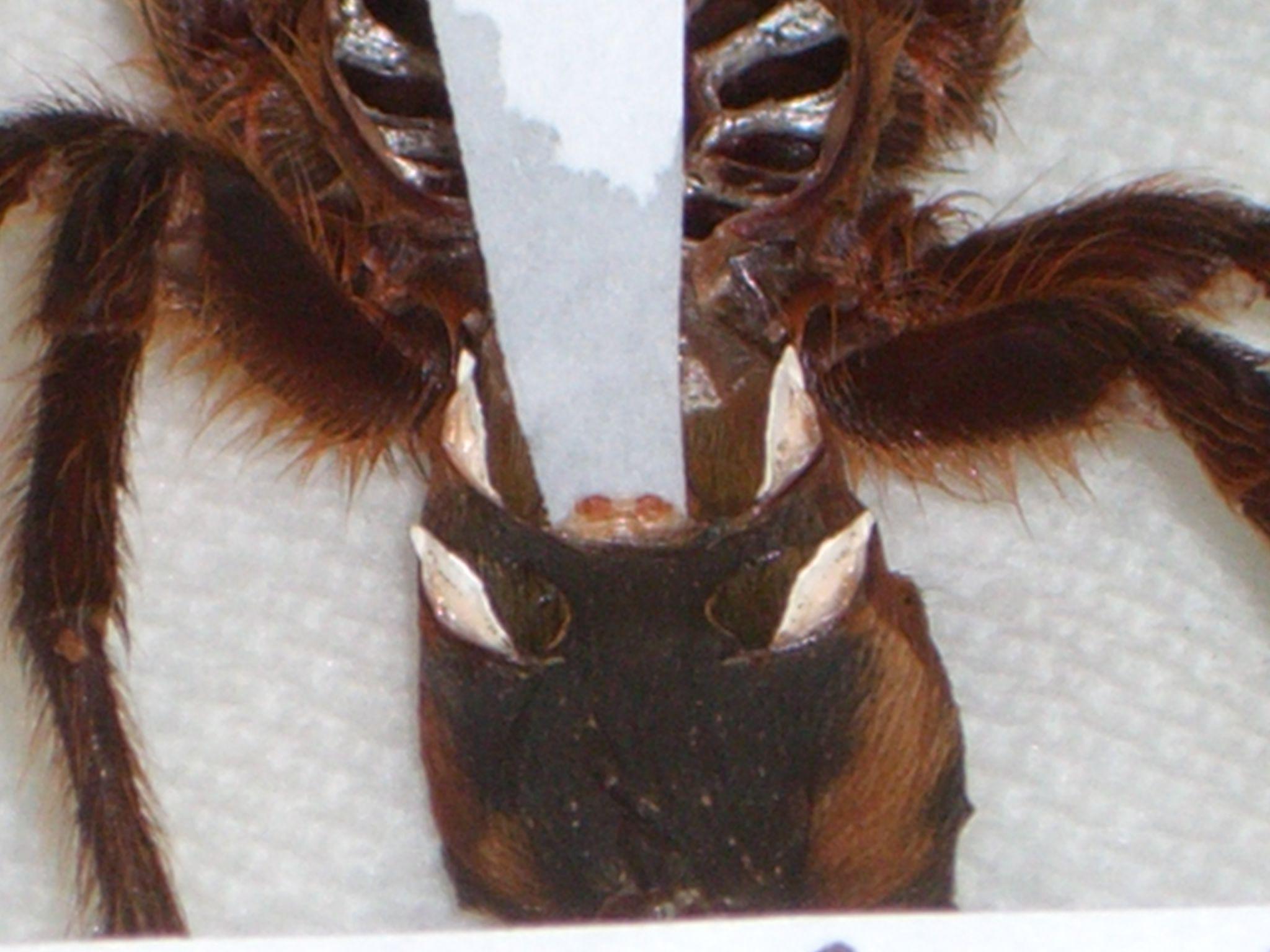 espermateca tarantula